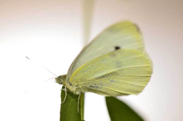 cabbage-white-butterfly