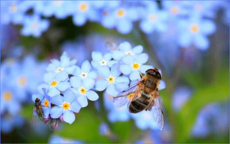 honey bee on tiny blue flowers
