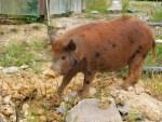 Wild Feral Pig
