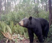 """""""A Florida Black Bear"""""""