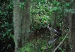 Great Blue Heron. Big Cypress National Preserve along Loop Road. Shot 03/22/02.