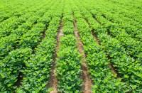 Peanut farmers