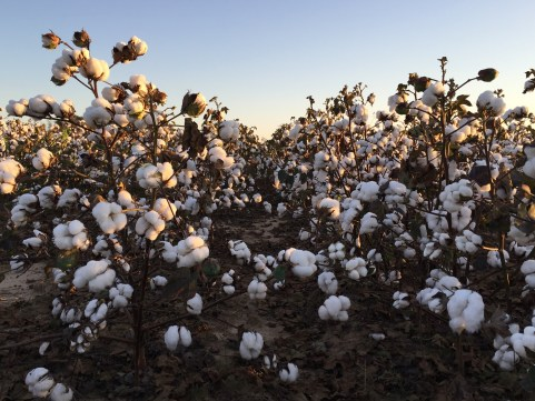 cotton acreage