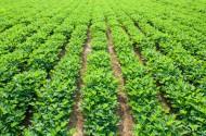 Peanuts field
