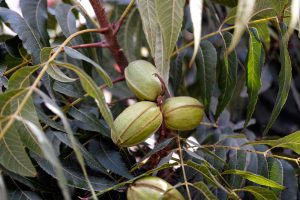 tree nut research