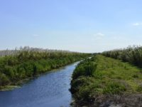 sugar-cane-blooms-along-irrigation-canal-in-southern-florida