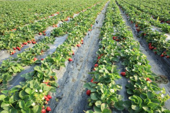 strawberry cultivars