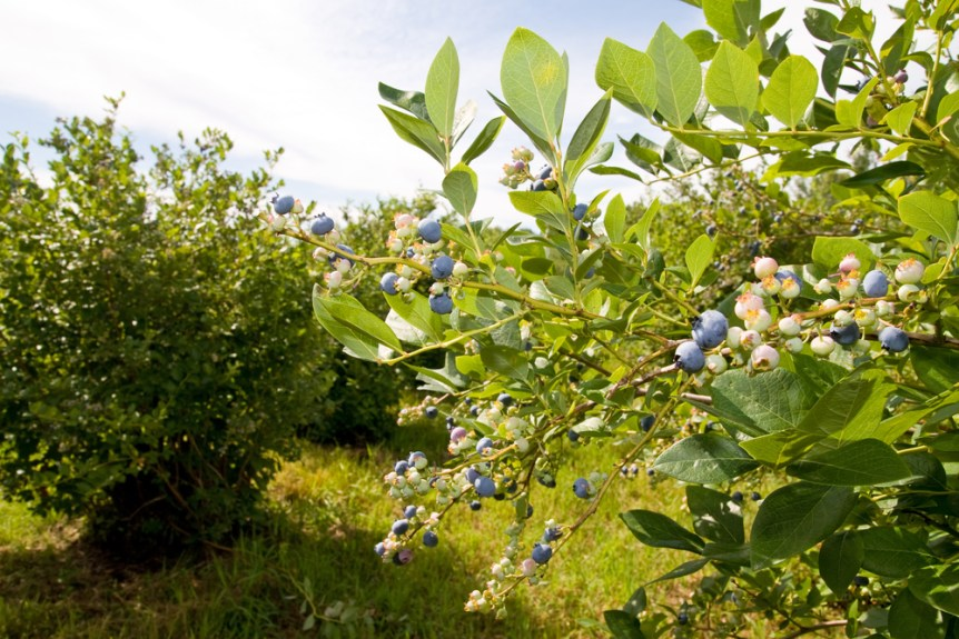 georgia blueberry