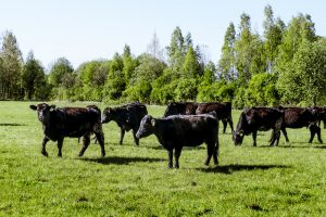 angus certification