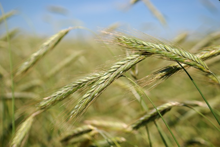 wheat staging