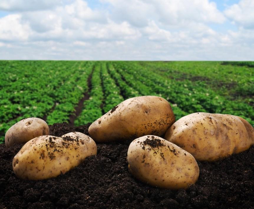 potato board