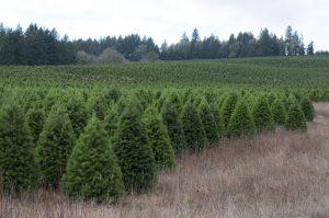 choose christmas tree