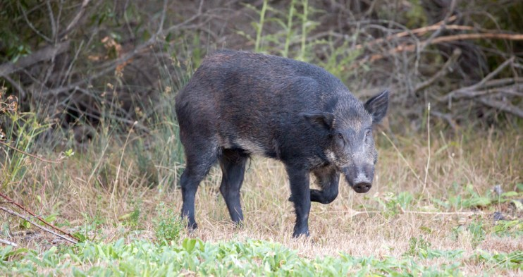 wild hog diseases
