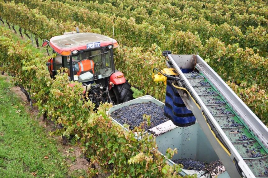grape farming