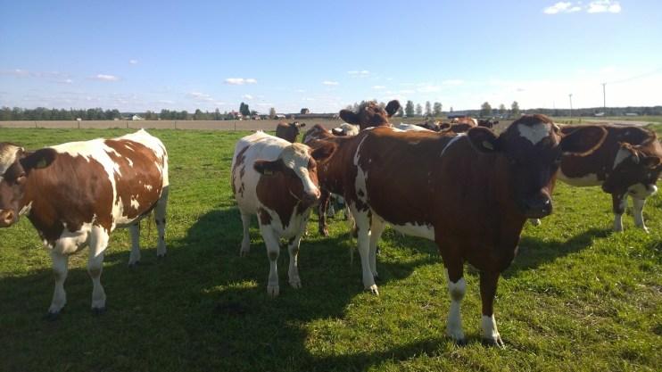 alabama cattle
