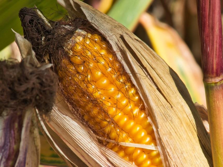 corn markets