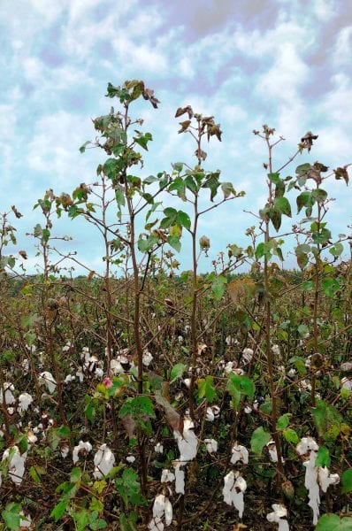 cotton leafroll
