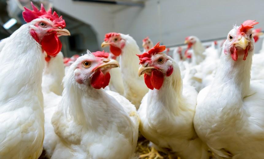 census poultry farms