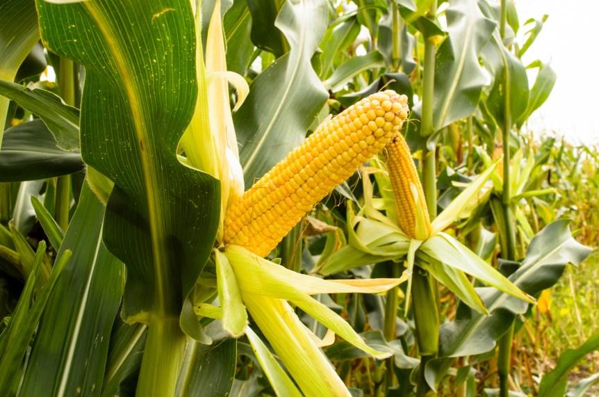 usda corn markets