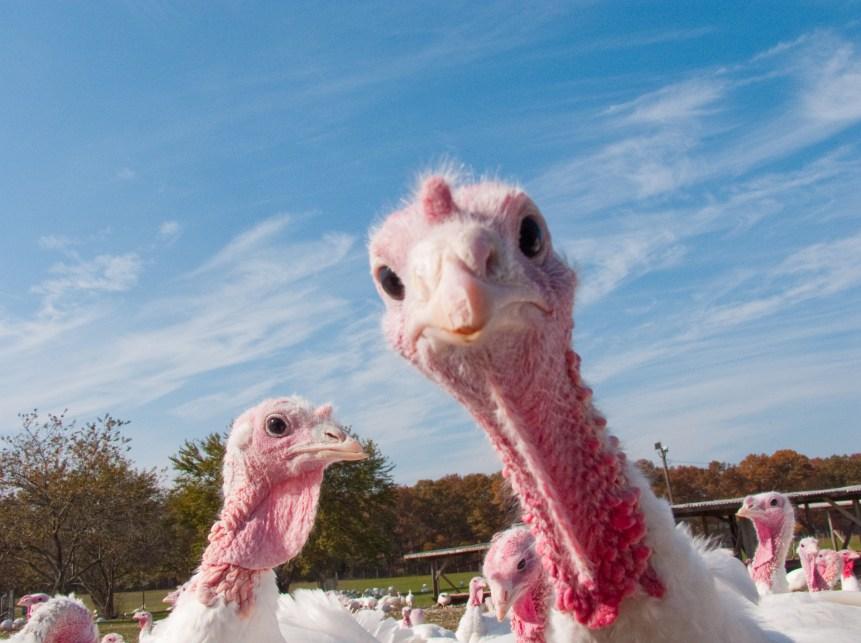 poultry antibiotics