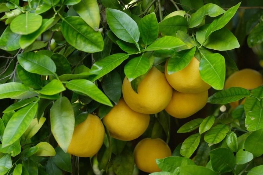 grapefruit suspension