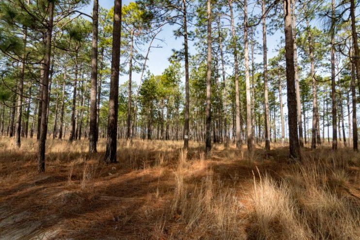 longleaf pine flatwoods