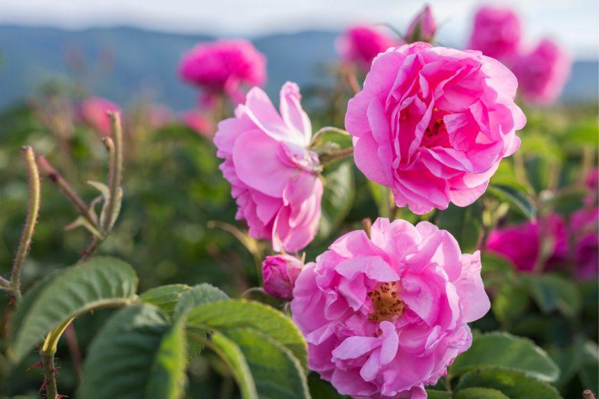 edible roses