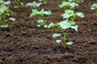 cotton planting