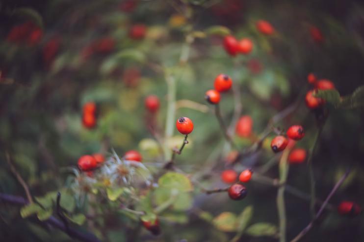 harvest rosehips