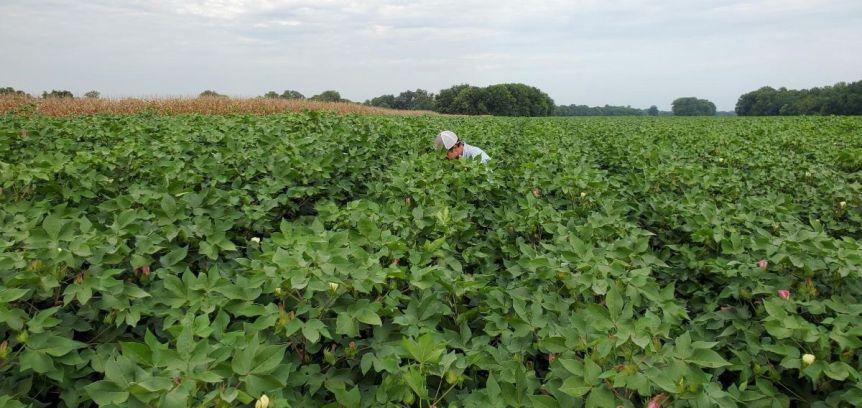 Alabama cotton crop