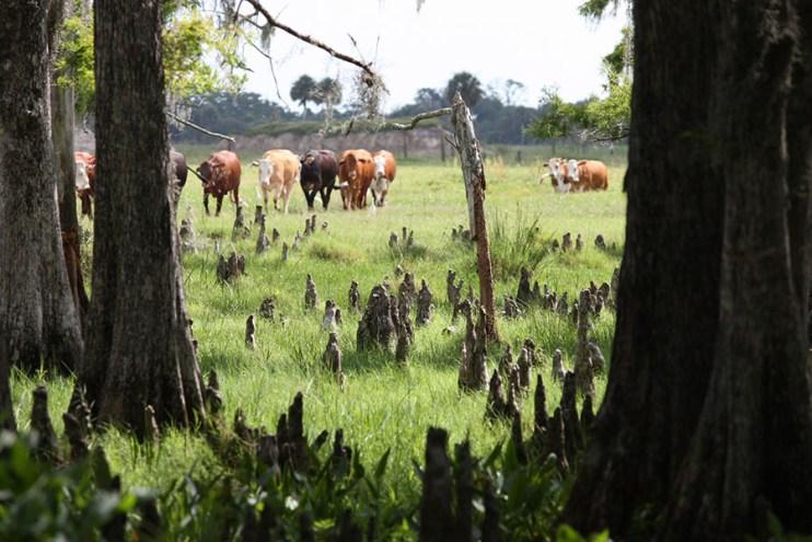 Deseret Cattle & Citrus