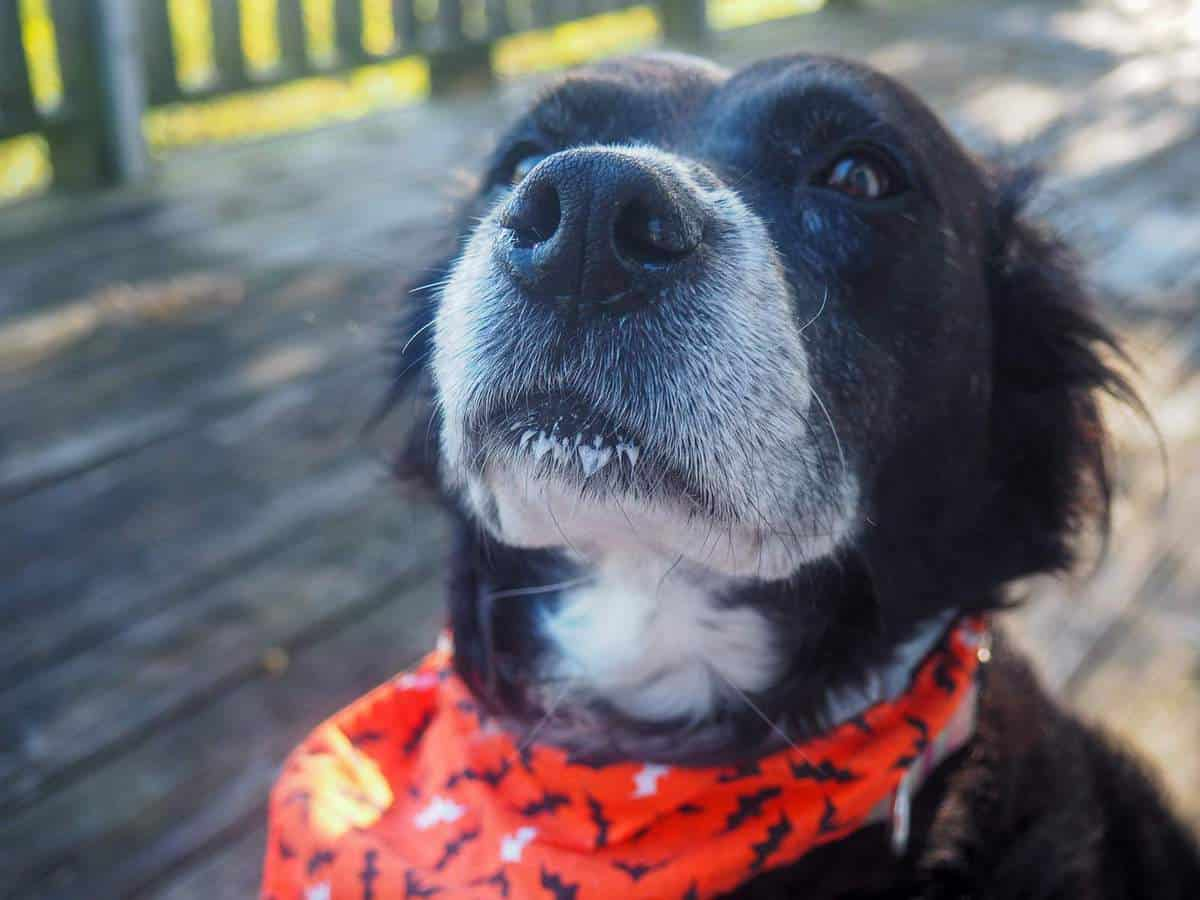 A black and white dog with drool on her chin wearing an orange bandana.