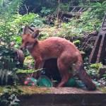 GRM FOX_3