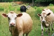 cowscomingin