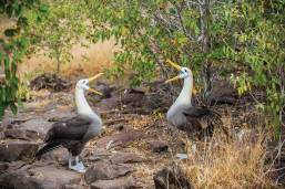 A pair of waved albatross, Diomeda irrorata, in courtship display. Espanola Island is the location of the only waved albatross nesting colony in the world. Photo Credit: Jad Davenport