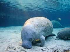 manatee, florida fish and wildlife, manatees, gulf coast