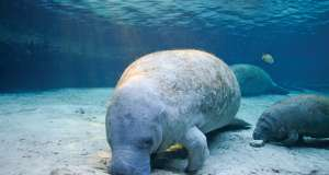manatee, florida fish and wildlife, manatees, gulf coast