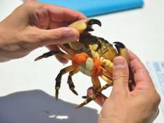 An image of a man holding a stone crab, which may suffer due to ocean acidification.