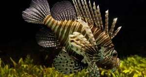 The Invasive Lionfish