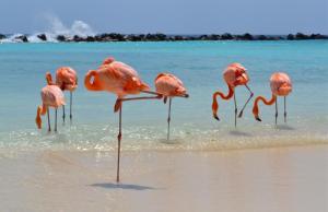 Flamingos in Aruba ABC Islands