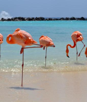 Flamingos in Aruba ABC Islands