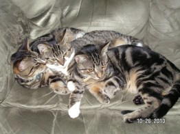 The triplets taking a cat nap in my chair