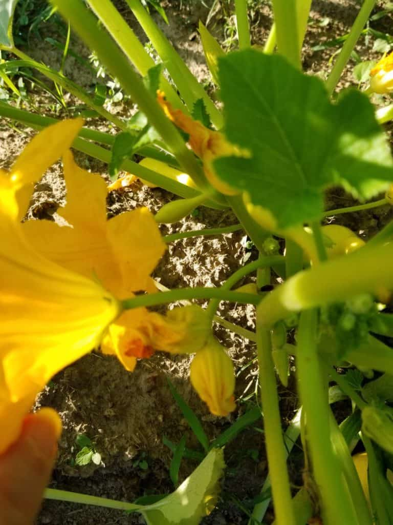 Fried squash blossoms, Using your garden produce, Zucchini plant, Squash plant, Squash blossom