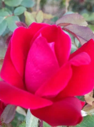 3 Care Tips for Knockout roses, all in one care for knockout roses