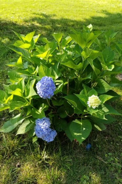 Easy care for beautiful hydrangeas, Tips for hydrangea care, Large green shrub with 2 blue round snowball blossoms and one green one