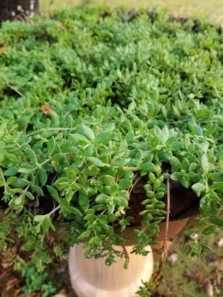 Easy Care plants for pots, Trailing Green sedum
