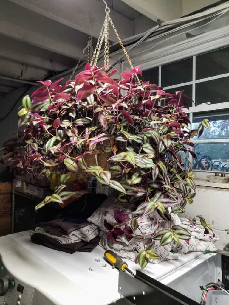How to overwinter wandering jew, Winter care for wandering jew, Hanging basket of wandering jew hanging in basement