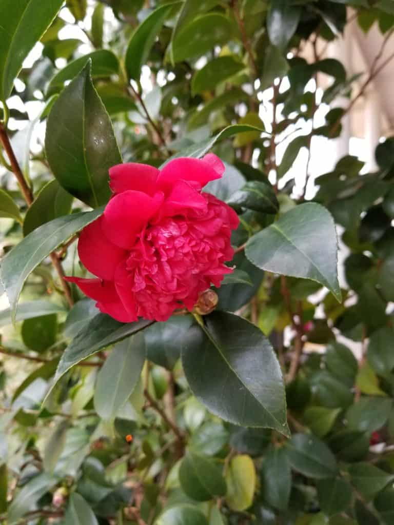 Red Camellia blooming in Winter