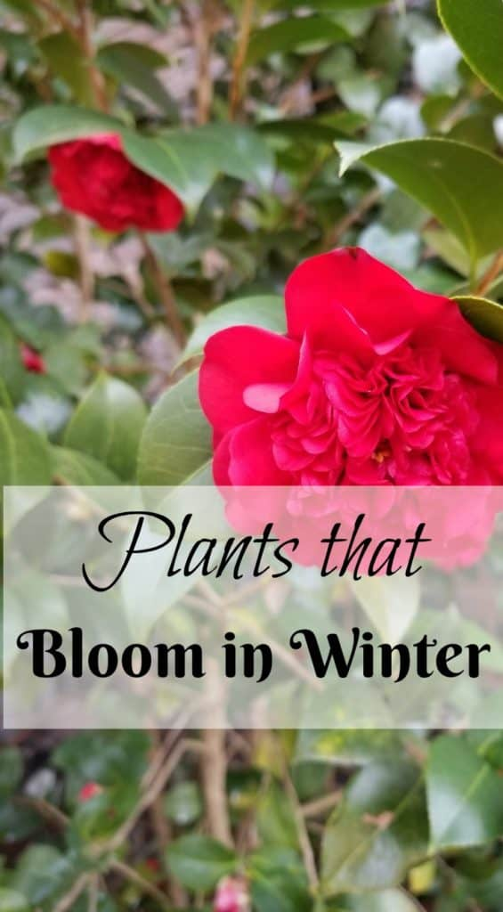 Plants that bloom in winter, Camellias