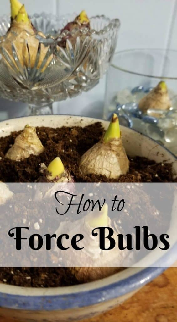 Forcing Bulbs, How to Enjoy bulbs in winter